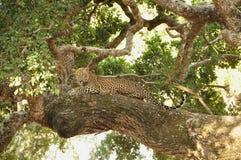 Leopard, Sri Lankan (Panthera pardus kotiya) Stock Image