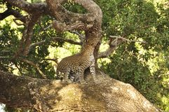 Leopard, Sri Lankan (Panthera pardus kotiya) Royalty Free Stock Photography