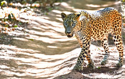 Leopard Sri Lankan - Panthera-Pardus Kotiya At Wilpattu National-Park Stockfoto