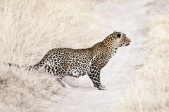 Leopard  stalking. African leopard (Panthera Pardus Pardus)  stalking fowl ion the savannah road Royalty Free Stock Images