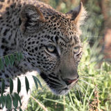 Leopard stalking. Through the bush in the Kruger National Park Royalty Free Stock Photo