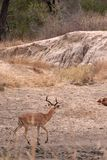 Leopard stalking impala Stock Photo