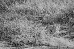 Leopard stalking in the Khalahari. Leopard stalking in black and white in the Central Khalahari, Botswana Royalty Free Stock Photos