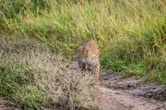 Leopard stalking in the Khalahari. Leopard stalking in the Central Khalahari, Botswana Royalty Free Stock Images