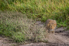 Leopard stalking in the Khalahari. Leopard stalking in the Central Khalahari, Botswana Royalty Free Stock Photography