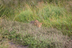 Leopard stalking in the Khalahari. Leopard stalking in the Central Khalahari, Botswana Stock Image