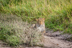 Leopard stalking in the Khalahari. Stock Photos
