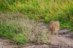 Leopard stalking in the Khalahari. Leopard stalking in the Central Khalahari, Botswana Stock Photos