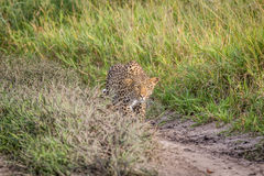 Leopard stalking in the Khalahari. Leopard stalking in the Central Khalahari, Botswana Stock Photo
