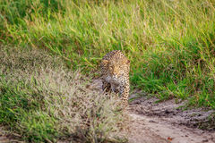 Leopard stalking in the Khalahari. Royalty Free Stock Photography