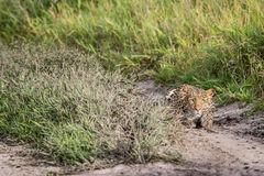 Leopard stalking in the Khalahari. Leopard stalking in the Central Khalahari, Botswana Royalty Free Stock Photos