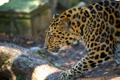 Leopard Stalking. Leopard on a lazy afternoon in New Orleans zoo Stock Photo