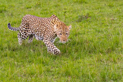 Leopard Stalking. A Leopard, Panthera pardus, stalking in grasses in Masai Mara, Kenya. The Leopard was using our car to hide her progress and was stealthily Stock Photography