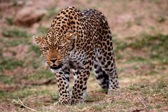Leopard in a stalking position, south luangwa, zambia Royalty Free Stock Photo