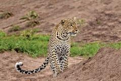 Leopard stalking, Serengeti National Park, Tanzania. Leopard stocks an impala herd, Serengeti National Park, Tanzania Stock Images