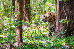 Leopard stalking. Leopard a versatile feline is seen in forest on a sunny day Stock Photography