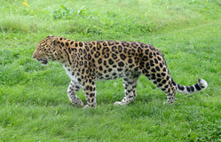 Leopard Stalking Royalty Free Stock Images