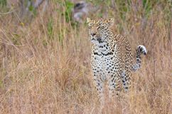 Leopard standing alert in savannah Royalty Free Stock Images
