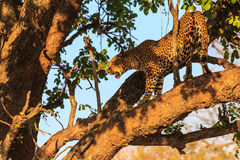 Leopard standing on a branch in a tree Royalty Free Stock Image