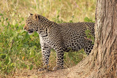Leopard standing in the bush Royalty Free Stock Image