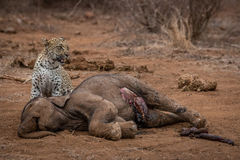 Leopard standing at an Elephant carcass. Royalty Free Stock Image