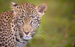 Leopard standing in the grass Royalty Free Stock Image