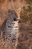 Leopard Standing In Savannah Royalty Free Stock Photography