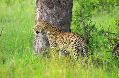 Leopard. Standing infront of a tree Royalty Free Stock Images