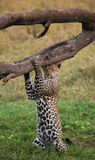 Leopard standing on its hind legs and scratched his head against a tree. National Park. Kenya. Tanzania. Royalty Free Stock Image