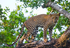 Leopard standing on a large tree branch. Sri Lanka. Royalty Free Stock Photos