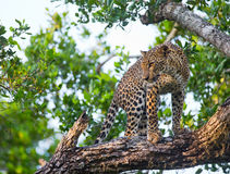 Leopard standing on a large tree branch. Sri Lanka.  Royalty Free Stock Photography