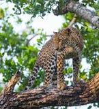 Leopard standing on a large tree branch. Sri Lanka. Stock Photography