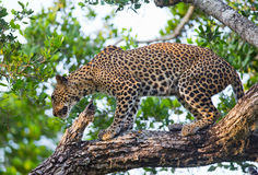 Leopard standing on a large tree branch. Sri Lanka. Royalty Free Stock Image