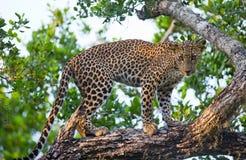 Leopard standing on a large tree branch. Sri Lanka. Stock Image
