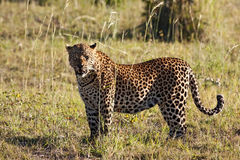 Leopard standing in long grass in the sun Stock Photo