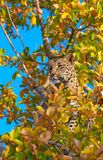 Leopard Standing On The Tree Royalty Free Stock Images