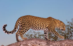 Leopard Standing On The Tree Stock Images
