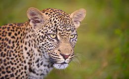 Leopard standing in savannah Stock Photography