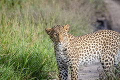 Leopard standing and starring. Royalty Free Stock Image