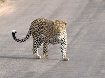 Leopard standing on tar road Royalty Free Stock Images