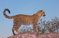 Leopard standing on the tree. Leopard (Panthera pardus) standing alert on the tree in Sabi Sand nature reserve in South Africa Stock Photos