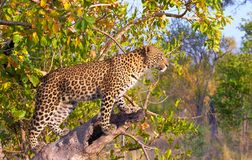 Leopard standing on the tree Stock Image