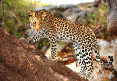 Leopard standing on the tree. Leopard (Panthera pardus) standing alert on the tree in nature reserve in Botswana Stock Photography
