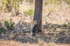 Leopard standing under a tree. Stock Image