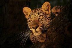 Leopard Stare2 Arkivbilder