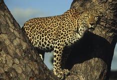 Leopard Stare3 Arkivfoto