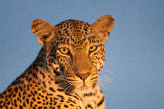 Leopard stare Stock Photos