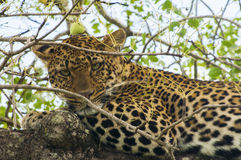 Wild Life in Africa Royalty Free Stock Photos