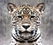 Leopard staring at the camera. Royalty Free Stock Photos