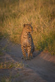 Leopard staring down sandy track in grass Royalty Free Stock Photography